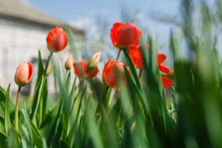 tulips in a home garden, close-up of spring flowers, red flowers blossomed