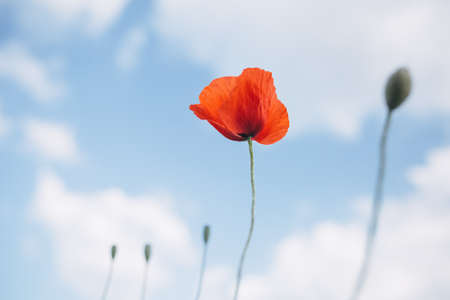 red poppy field, spring flower of red color blooming in the field on a sunny day, against the sky