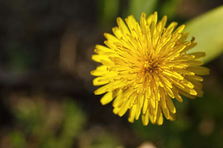 dandelion, spring flowers in ukraine, close-up of plants on a sunny day Stockfoto