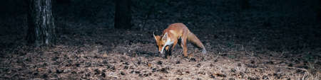panorama. fox in woods among the trees. wild animal in the wild in evening in forest glade Reklamní fotografie