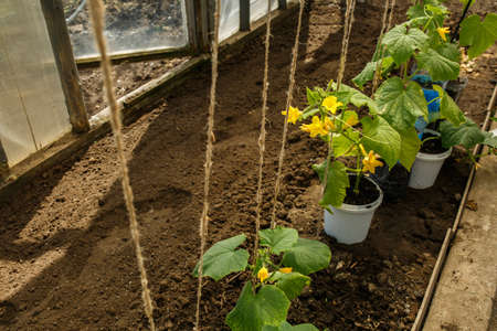 planting of plants in spring, young green cucumbers in a greenhouse, a home garden.