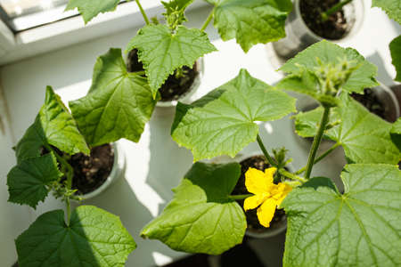 cucumbers growing on the windowsill, room garden with small flowering green cucumbers standing near the window, home greenhouse