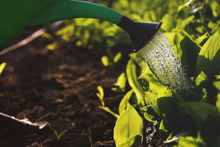 watering garden plants at home in the sun, the concept of a green planet
