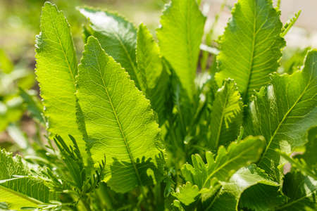 dense leaves of a green plant in the garden, spring plants in a home garden, green background of leaves