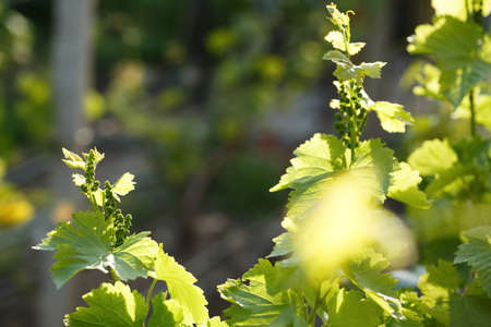 young shoots of grape macro shot on a sunny day, winemaking in spain