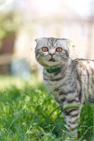 the tabby cat walks along the grass in the courtyard, the Scottish Fold cat sniffs the grass