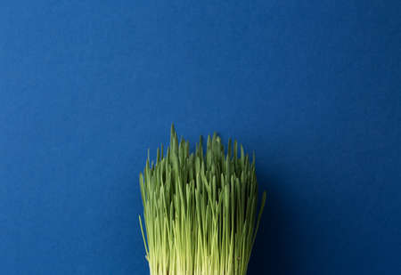 Green grass on a blue isolated background. Oats sprouts close up photo.