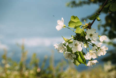 Cherry blossoms, Spring, blooming gardens, macro photography, sunset