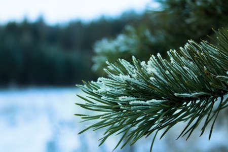 A green pine branch covered with hoarfrost on the edge of the forest. Stock Photo