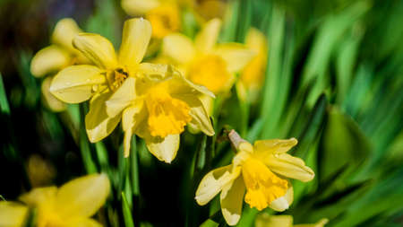 spring yellow flower narcissus