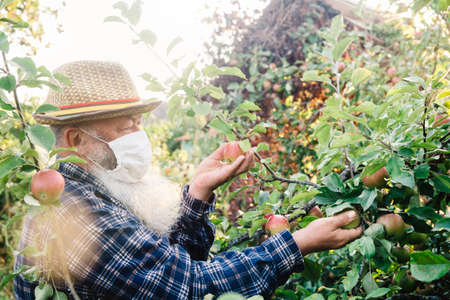 A senior man in a protective mask picks apples in an apple orchard. Harvesting during the coronavirus pandemic.