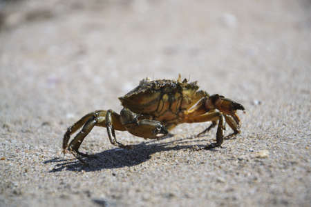 insensitive: Crab on the beach of the sea