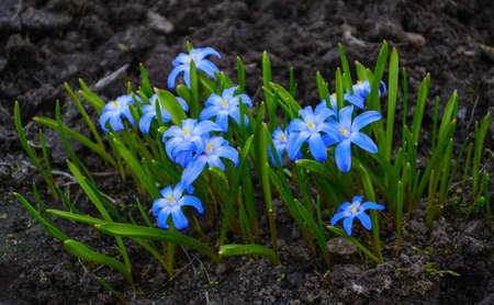 Scilla flowers photo