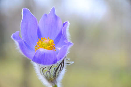 Beautiful pulsatilla in sunshine Stock Photo - 19696857