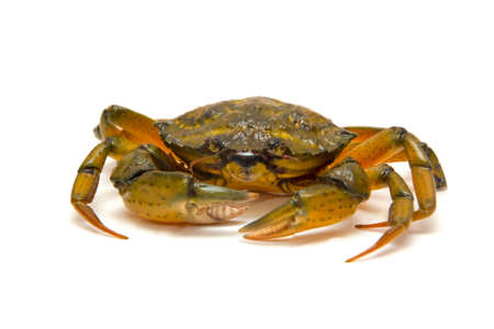 Crab on white photo
