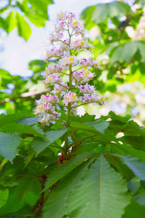 conkers: Chestnut blossoms Stock Photo