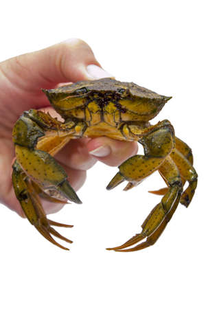 insensitive: Crab in a hand on white