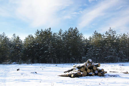 A pile of pine logs in winter snow with forest background photo
