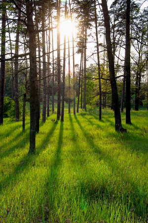 Forest with long shadows from setting sun photo