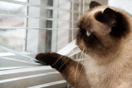 see through: Cat looking outside through window blinds