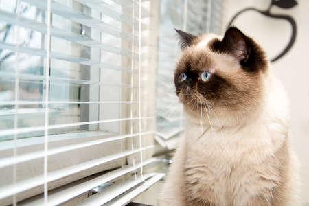 yearning: Cat sitting near window blinds Stock Photo