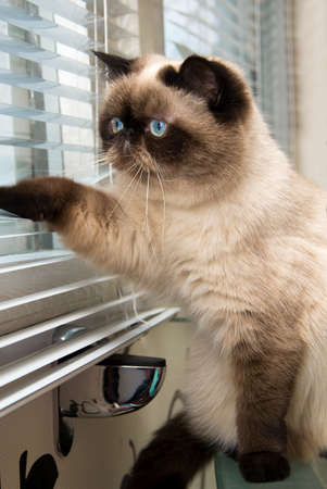 Cat looking outside through window blinds Stock Photo - 30337974