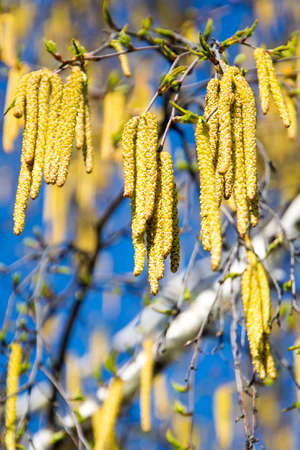 birch branches with catkins against sky in spring photo