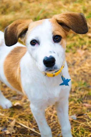 shorthaired: joven de Istria perro de pelo corto perro de pie en madera
