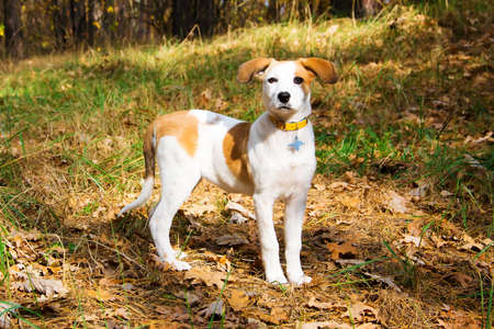 shorthaired: young Istrian Shorthaired Hound dog standing in wood