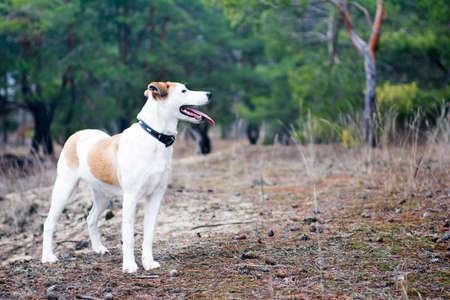 shorthaired: Istria perro de pelo corto perro de pie en el bosque