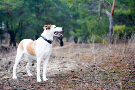 shorthaired: Istrian Shorthaired Hound dog standing in the wood