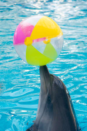 dolphinarium: cute dolphin playing ball in dolphinarium, Skadovsk, Ukraine