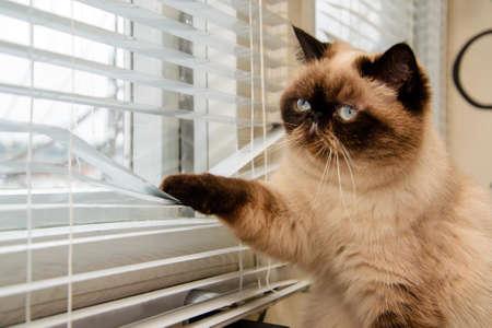 adentro y afuera: El gato está mirando afuera a través de las persianas Foto de archivo