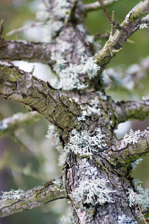 meagre: Lichen on tree in forest