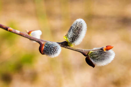 catkins: Spring background with pussy-willow branches with catkins Stock Photo