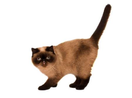 Exotic Shorthair Cat isolated on white background Stock Photo