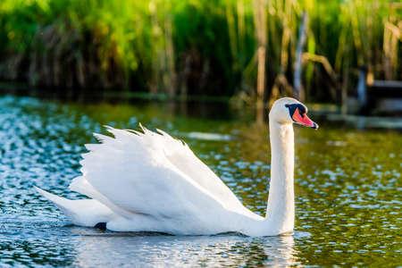winter sunrise: Mute Swan on water
