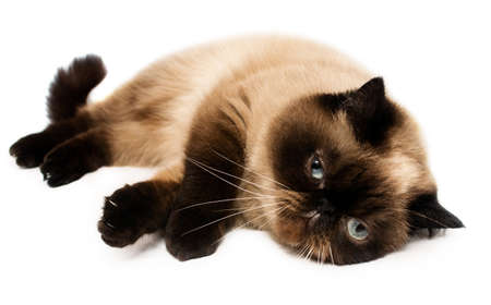 baby seal: shorthair exotic cat lying Stock Photo