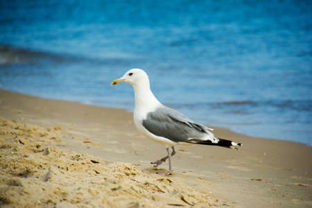 One seagull standing in sand on a beach