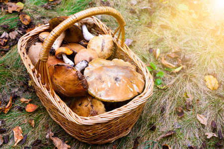 Wicker basket full of various edible kinds of mushrooms in a autumn forest Stock Photo