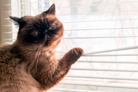 Cat is looking outside through window blinds. Exotic Siamese