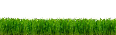 Wheatgrass plant on a white background. Isolated panorama.