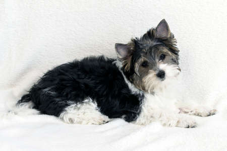 Studio shot of a cute Biewer Yorkshire Terrier puppy lying on white fur background