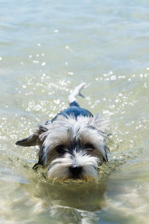Biewer York Terrier puppy dog swims in a crystal clear sea Stock Photo
