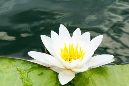 primer plano de lilly blanco en el lago con hojas verdes Foto de archivo