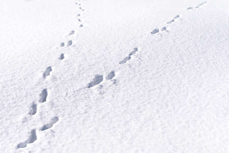 Hare foot tracks in snow forest. winter background Imagens