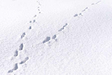 Tracce di piede di lepre nella foresta di neve. sfondo invernale Archivio Fotografico