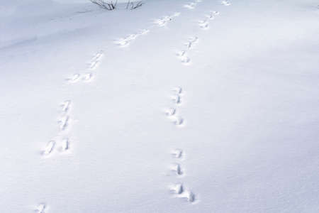 Hare foot tracks in snow forest. winter background Stock Photo