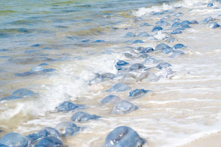 Ecological marine disaster and pollution of the world ocean. Millions dead jellyfish thrown to the seashore. Soft focus Stock Photo