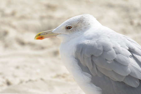 Seagull portrait against sea shore. Close up view of white bird seagull sitting by the beach Stock Photo